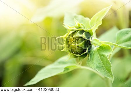 Unopened Sunflower Inflorescence Close-up On Blurred Agriculture Field Background
