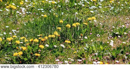 Dandelions And Daises Close Up On The Meadow. Summer Nature Background. Weeds Growth Problem Concept