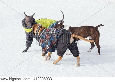 Mexican Hairless Dog Puppy, German Boxer Puppy And American Staffordshire Terrier Puppy Are Playing