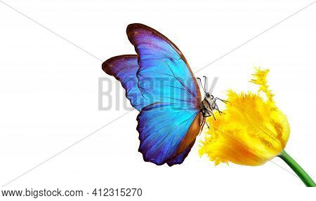 Beautiful Colorful Morpho Butterfly On A Flower On A White Background. Tulip Flower In Water Drops I