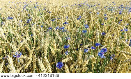 Wheat Field With Cornflowers Flowers. Rustic Landscape Overlooking A Rye Field With Numerous Cornflo