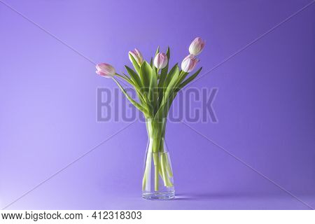 Bright Pink White Colorful Tulips Flowers Blooming. Holiday Bouquet On Violet Background