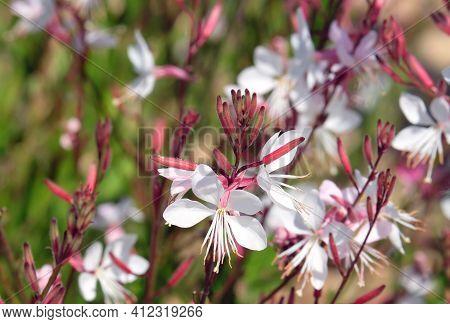 Spring Flowering Gaura Lindheimeri In The Park