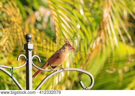 Female Cardinal Cardinalis Cardinalis Songbird In A Garden In Naples, Florida