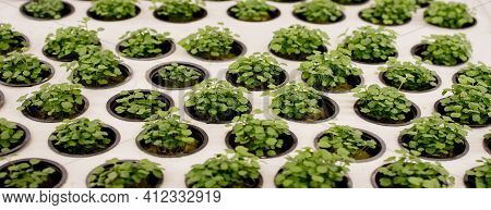 Close-up Of Basil Microgreens. Growing Basil In Hydroponic System Sprouts Close Up View. Vegan And H