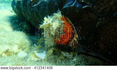European Thorny Oyster (spondylus Gaederopus) Coveded By Oyster Sponge Or Orange-red Encrusting Spon