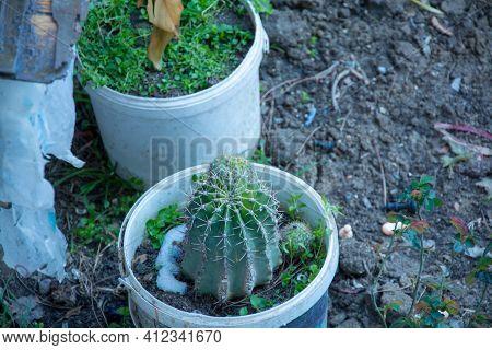 Cactus In The Garden, Close-up Cactus, Cactus In A Pot