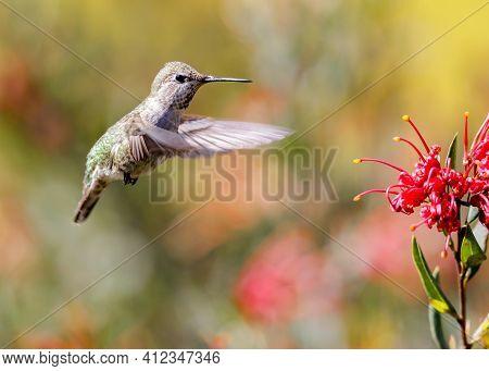 Anna's Hummingbird Adult Female Flying Towards Food Source. Santa Cruz, California, Usa.