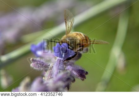 Honey Bee Pollinating Flowers Of Lilac Close-up. Purple Flowers And Bee Collecting Nectar And Pollin