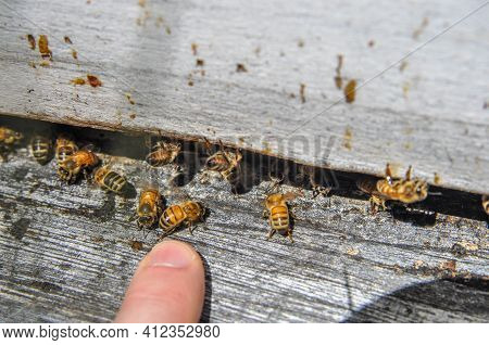 The Bees At Front Hive Entrance Macro Close Up With Person\'s Fingers Near The Bees, Touching Bees.