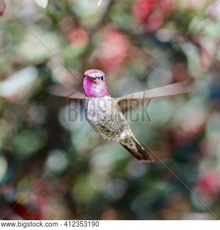 Anna's Hummingbird Adult Male Hovering And Looking At Camera. Santa Cruz, California, Usa.