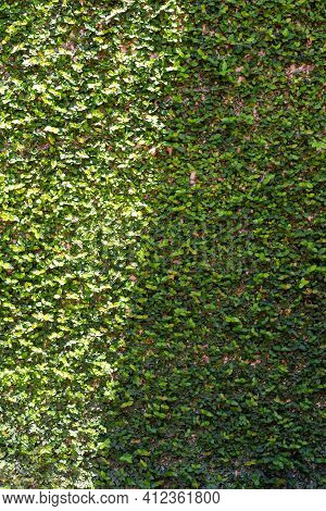 Trimmed Bush Texture,the Wall Brick Covered By Green Leaves.