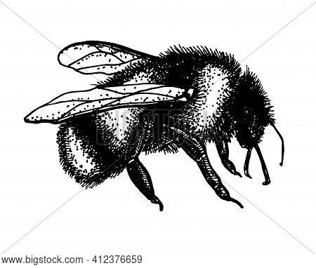 Sketch Illustration Of A Graden Bumblebee. Hand Drawn Vector Drawing Of Tree Honeybee. Hand Drawn In