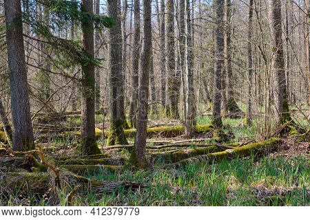 Frash Alder Tree Mixed Forest In Early Spring