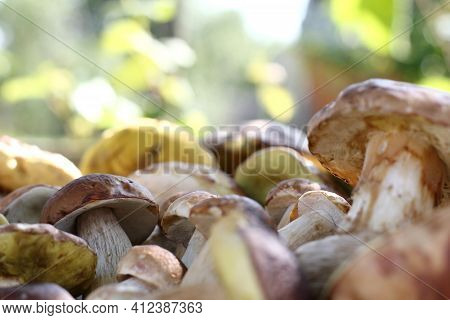 A Lot Of Porcini Mushrooms Close-up. Harvest Season Forest Delicacies