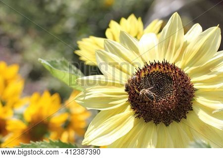 Pair Of Bees On A Decorative Sunflower In The Garden. Extraction Of Honey From A Sunny Flower