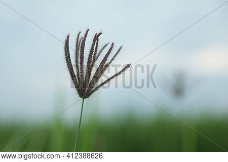 Single Wild Grass Flower On Blue Sky Background. Nature In Simplicity Concept. Copy Space.