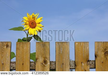 Sunflower Flower Peeks Out From Behind A Fence. Sunny Morning In The Village
