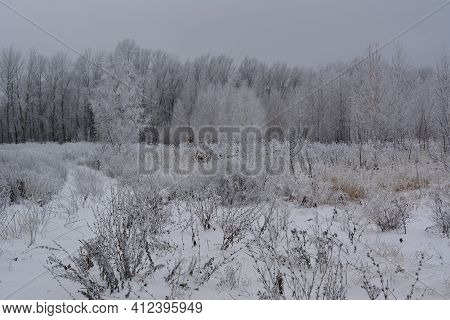 Winter Landscape With Dry Herbs On The Field And Trees Covered By Hoarfrost. Overcast Wintry Day