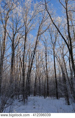 Winter Forest With Oak Trees Covered By Hoarfrost. Beautiful Landscape With Snowy Woodland And Clear