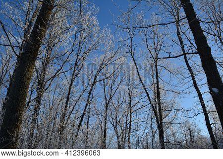 Deciduous Trees In Hoarfrost In Winter Forest. Beautiful Wintry Landscape.