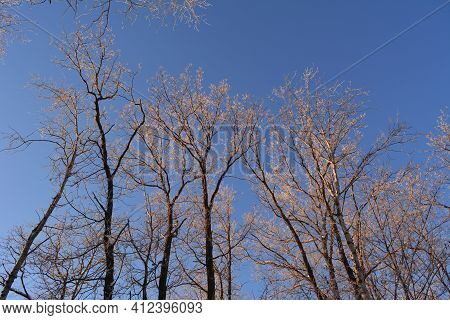 Oak Trees Covered By Hoarfrost Are Illuminated By The Setting Sun. Winter Scene On The Sunset