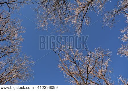 View From Below On Oak Trees In Winter. Branches Covered With Hoarfrost On The Background Of Blue Sk
