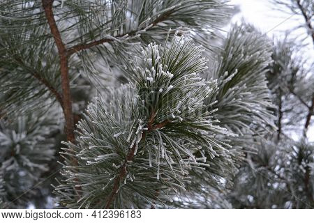 Cedar Needles Covered By Hoarfrost In Winter