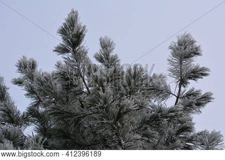 Cedar Branches Covered By Hoarfrost In Winter