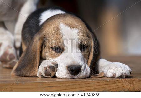 Sleepy pet puppy lying on the ground poster