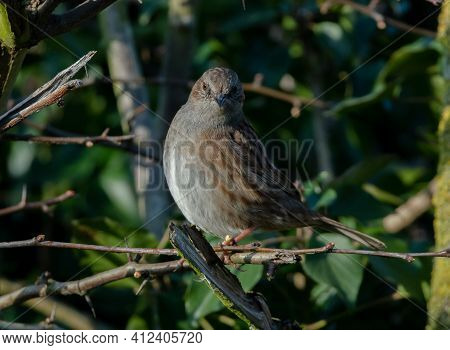 A Dunnock (hedge Sparrow) In A Hedge, Facing The Camera.