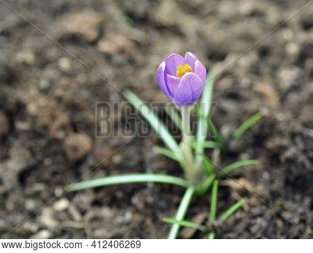 Growing Spring Purple Giant Crocus (crocus Vernus) In The Soil.