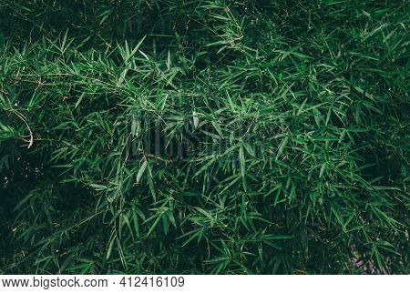 Bamboo Background - Lush Foliage With Nature Pattern View Of Bamboo Leaf On Greenery Background. The