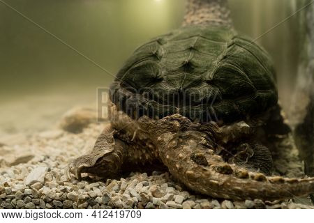 Alligator Snapping Turtle. Tail And Paws Of The Snapping Turtle. Underwater Close-up Rear View