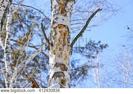 Tree Work By Black Woodpecker, Damaged Old Tree. The Woodpecker Gouged Holes In The Wood In Search O