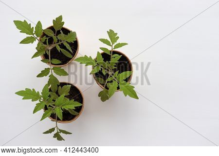 Sprouting Tomato Plant Seedling In Brown Organic Pots On The White Background. Growing Vegetables In