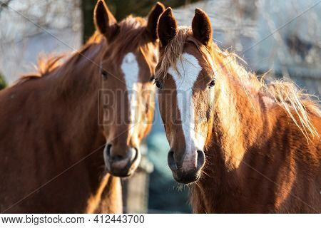 A Portrait Of Two Brown Horses Standing Next To Eachother In The Sunlight. Only One Of Them Is In Fo