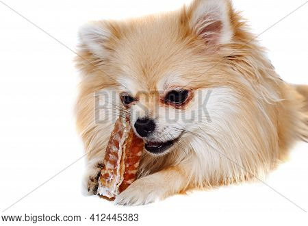 The Dog Chews On A Bone. The Pomeranian Eats A Dog Bone. Pomeranian Puppy