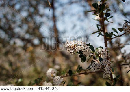 Umbel Inflorescences Of White Bloom On Bigpod Buckbrush, Ceanothus Megacarpus, Rhamnaceae, Native Mo