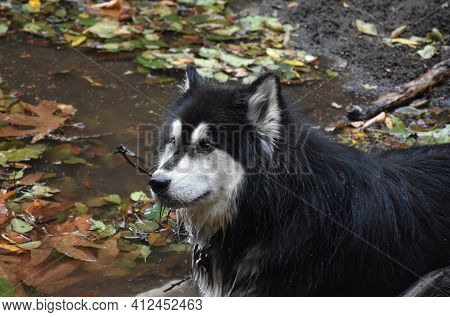Siberian Husky Dog Laying In A Muddy Waters.