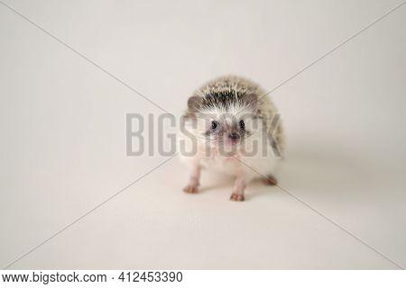 Hedgehog. Pygmy House Hedgehog. African White-bellied Hedgehog Close-up On A Light Beige Background.