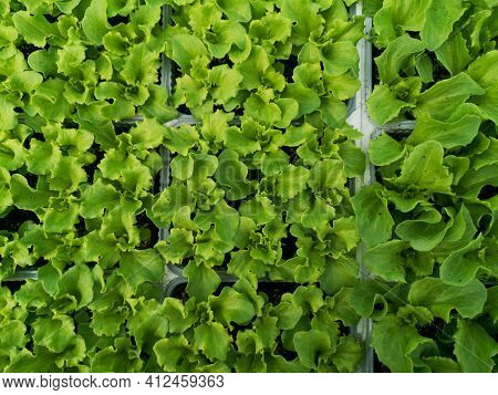 Ready-to-eat Salad Seedlings Ready-to-eat Salad Seedlings Ready-to-eat Salad Seedlings