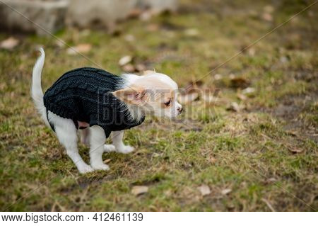Chihuahua Pooping At Grass Field. A White Chihuahua Dog Poops. Chihuahua, Toilet, Pooping