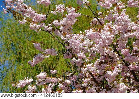 Close Up Of A Beautiful Tree With White And Pink Flowers