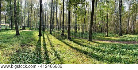 Panorama Of First Days Of Autumn In A Park, Long Shadows, Blue Sky, Buds Of Trees, Trunks Of Birches