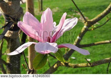 Pink Magnolia Flower In A Spring Park. Magnolia Susan. Flower Background