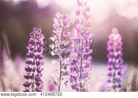 Wild Flowers Lupine In Summer Meadow At Sunset Sunrise. Lupinus, Commonly Known As Lupin Or Lupine,