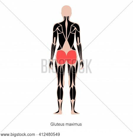 Human Muscular System Anatomical Poster. Gluteus Medius And Gluteus Maximus In Female Body. Structur