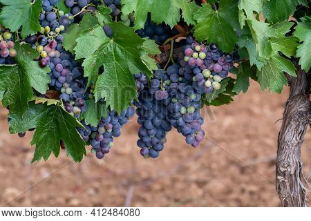 Ripe Black Or Blue Syrah Or Grenache Wine Grapes Using For Making Rose Or Red Wine Ready To Harvest