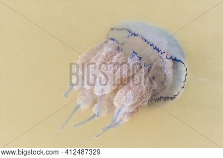 A Jellyfish With A Large Sting Floats In Muddy Sea Water Near The Shore, Close-up.